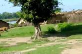 كلبان ينقذان أطفالا من هجوم نمر