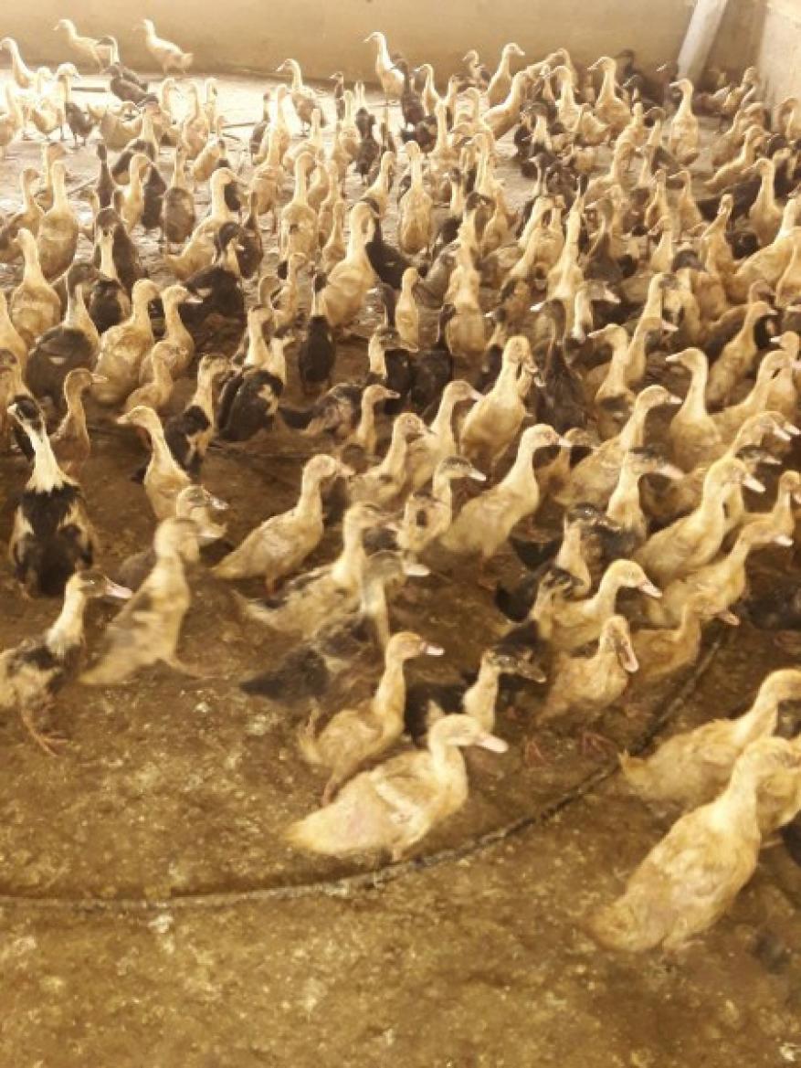 ضبط وإعدام مزرعة كاملة لطيور البط الحي شمال قطاع غزة