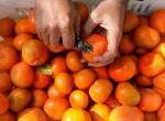 في واقعة مثيرة.. 4 مسافرين يتناولون 30 كيلوغراما من البرتقال قبل انطلاق رحلتهم