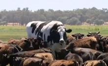 بقرة عملاقة في أستراليا تتحدى الذبح والبيع بحجمها الصادم