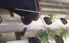 بالصور- تقنيّة جديدة لزراعة المخدرات في فلسطين