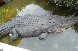 شاهد: تمساح يلتهم عالمة إندونيسية أثناء إطعامها له