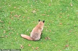 شاهد الثعلب الأكثر بدانة في بريطانيا