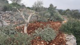 مستوطنون يقطعون أشجار زيتون غرب سلفيت