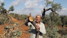 مستوطنون يقتلعون 130 شتلة زيتون جنوب نابلس