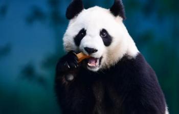 حيوان الباندا - أرشيف (أ.ف.ب)
