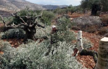 مستوطنون يقطعون 15 شجرة زيتون معمرة جنوب بيت لحم