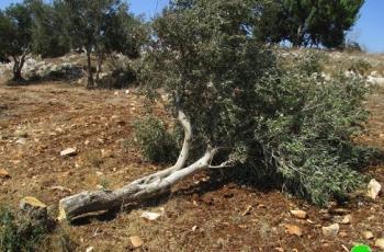 مستوطنون يقتلعون أشتال زيتون شرق بيت لحم