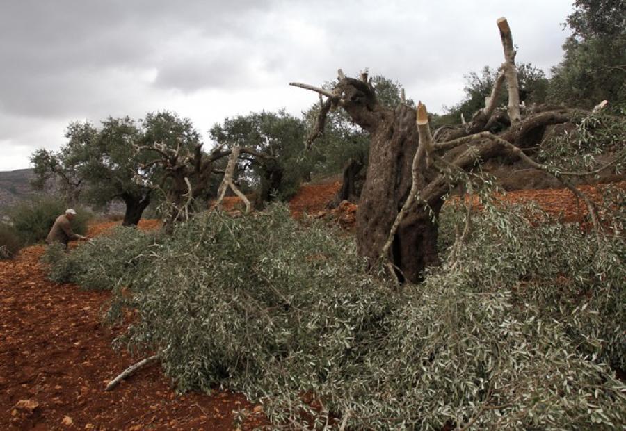 مستوطنون يقطعون 42 شجرة زيتون معمرة ويهدمون جدرانا استنادية في ياسوف