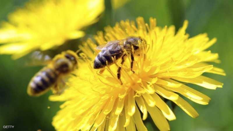 علماء: النحل (بارع في الحساب)