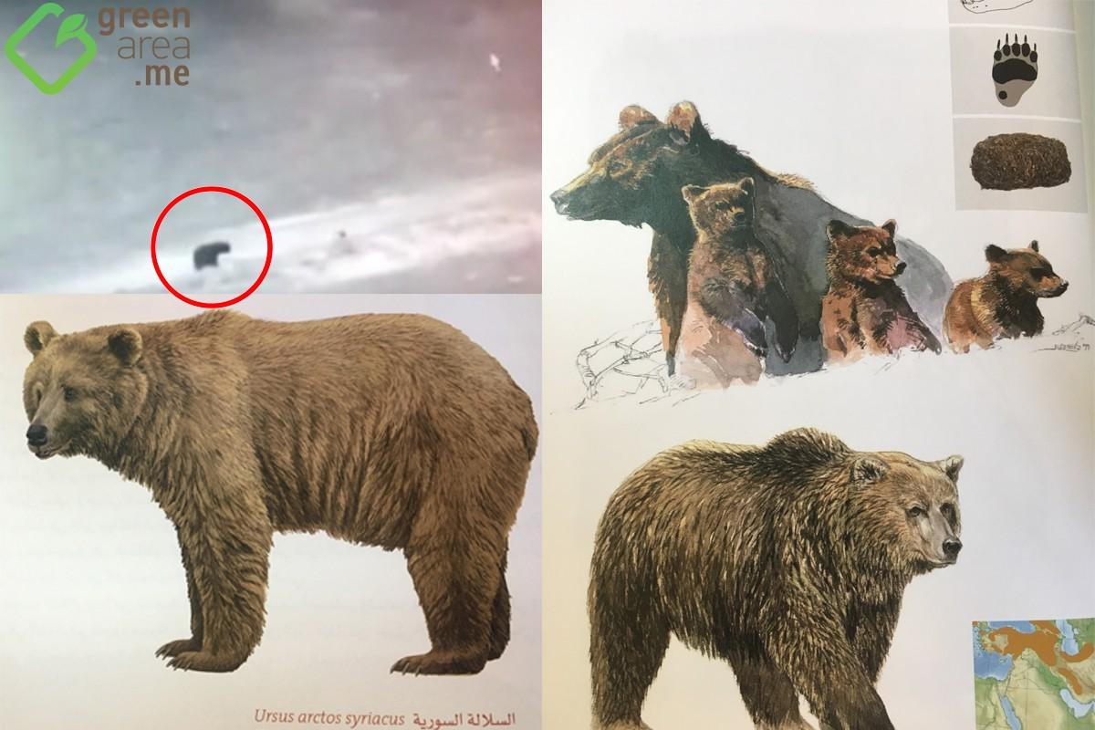 Brown-Syrian-Bear-pic-1.jpg